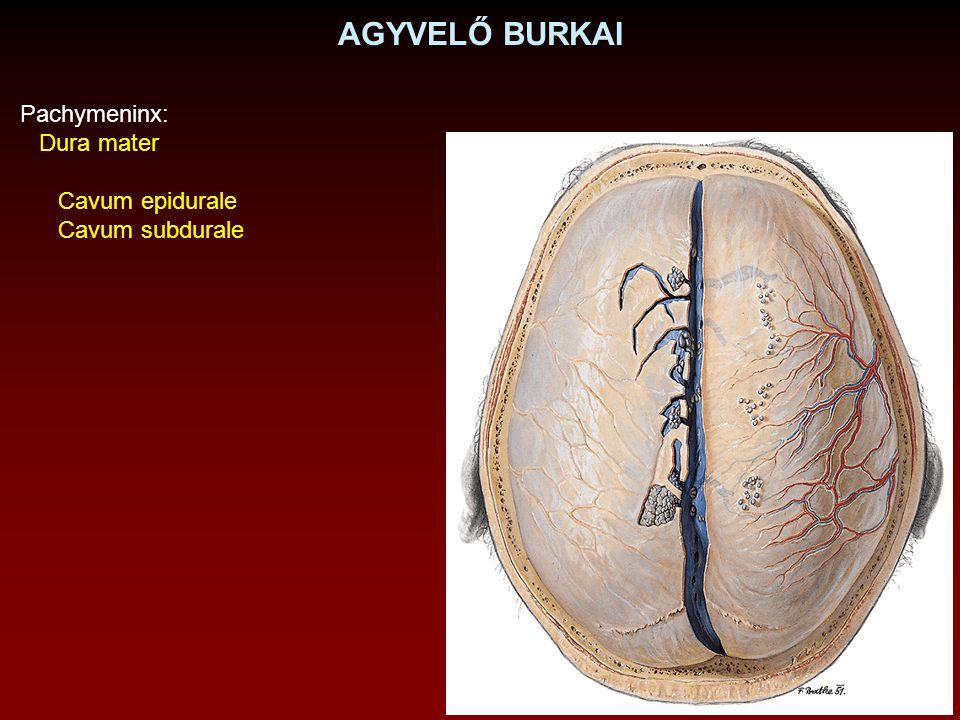 AGYVELŐ BURKAI Pachymeninx: Dura mater Cavum epidurale Cavum subdurale