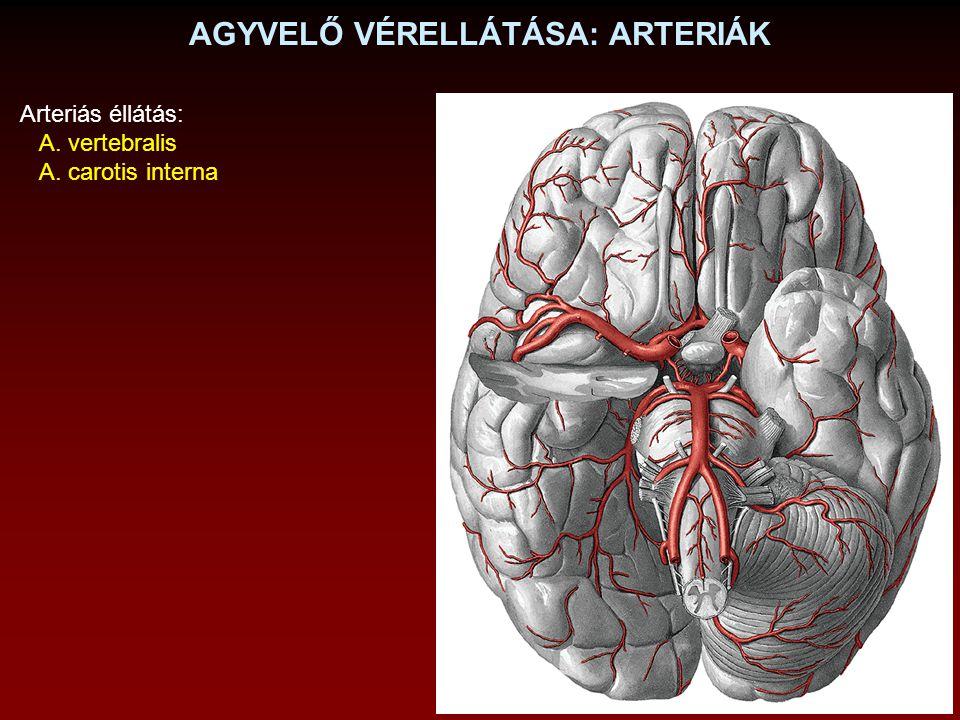 AGYVELŐ VÉRELLÁTÁSA: ARTERIÁK Arteriás éllátás: A. vertebralis A. carotis interna