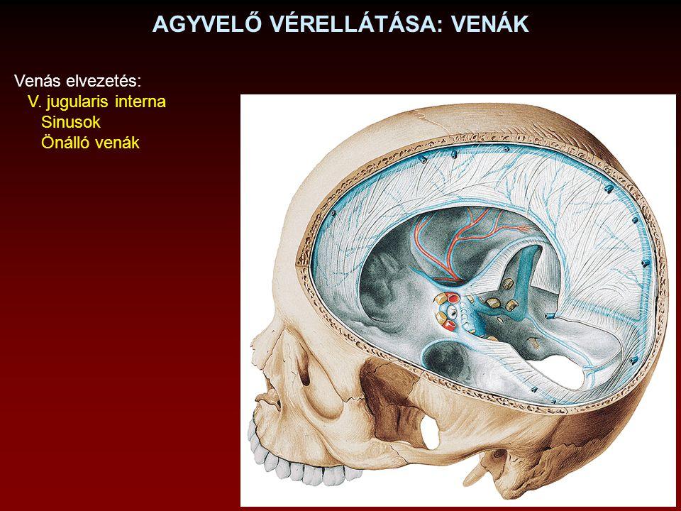 AGYVELŐ VÉRELLÁTÁSA: VENÁK Venás elvezetés: V. jugularis interna Sinusok Önálló venák