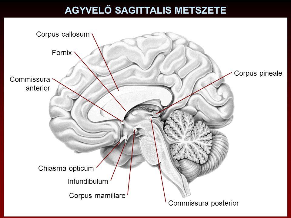 AGYVELŐ SAGITTALIS METSZETE Fornix Commissura anterior Chiasma opticum Corpus pineale Commissura posterior Corpus mamillare Infundibulum Corpus callos