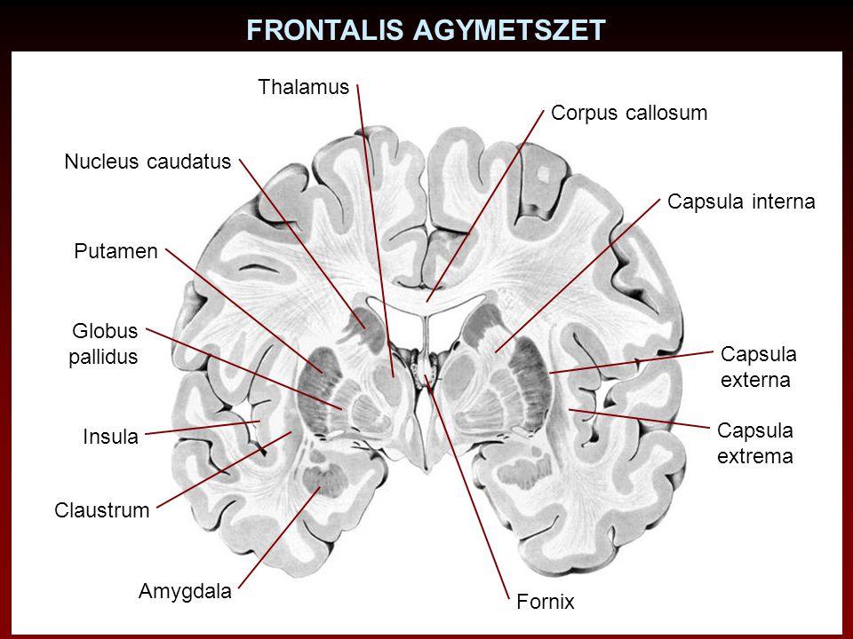 FRONTALIS AGYMETSZET Nucleus caudatus Putamen Globus pallidus Claustrum Corpus callosum Capsula interna Insula Amygdala Fornix Thalamus Capsula extern