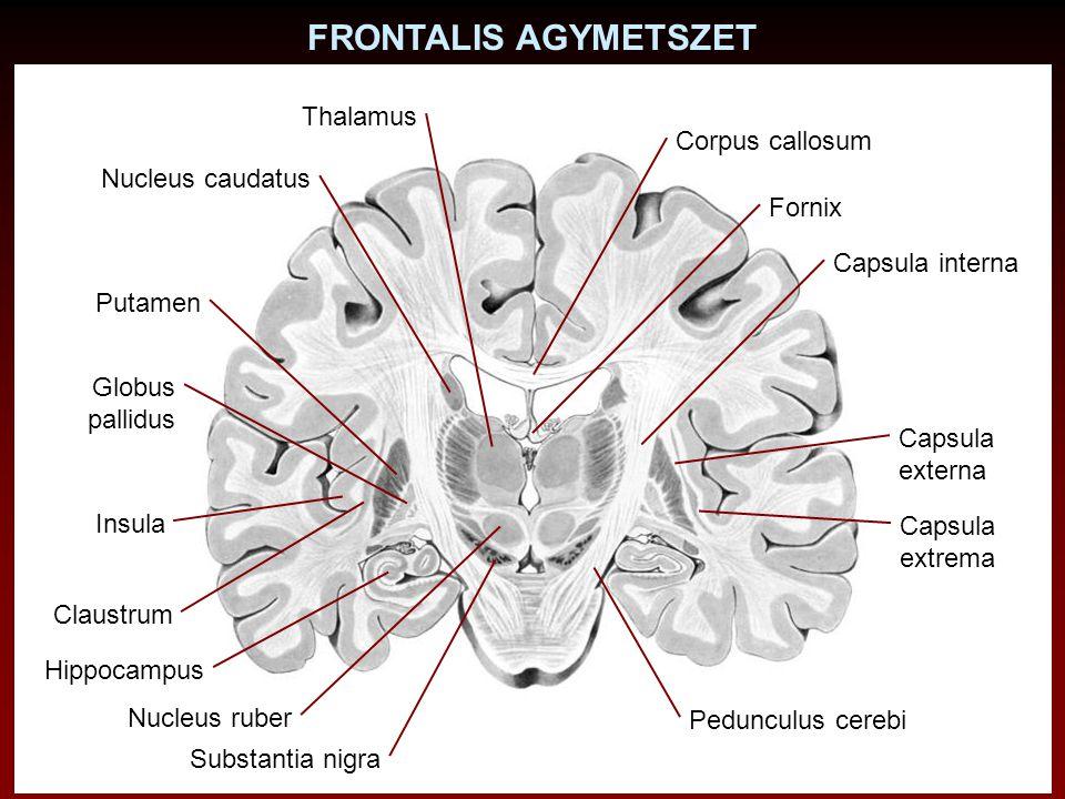 Nucleus caudatus Putamen Globus pallidus Claustrum Corpus callosum Capsula interna Capsula externa Insula Capsula extrema Hippocampus Fornix FRONTALIS