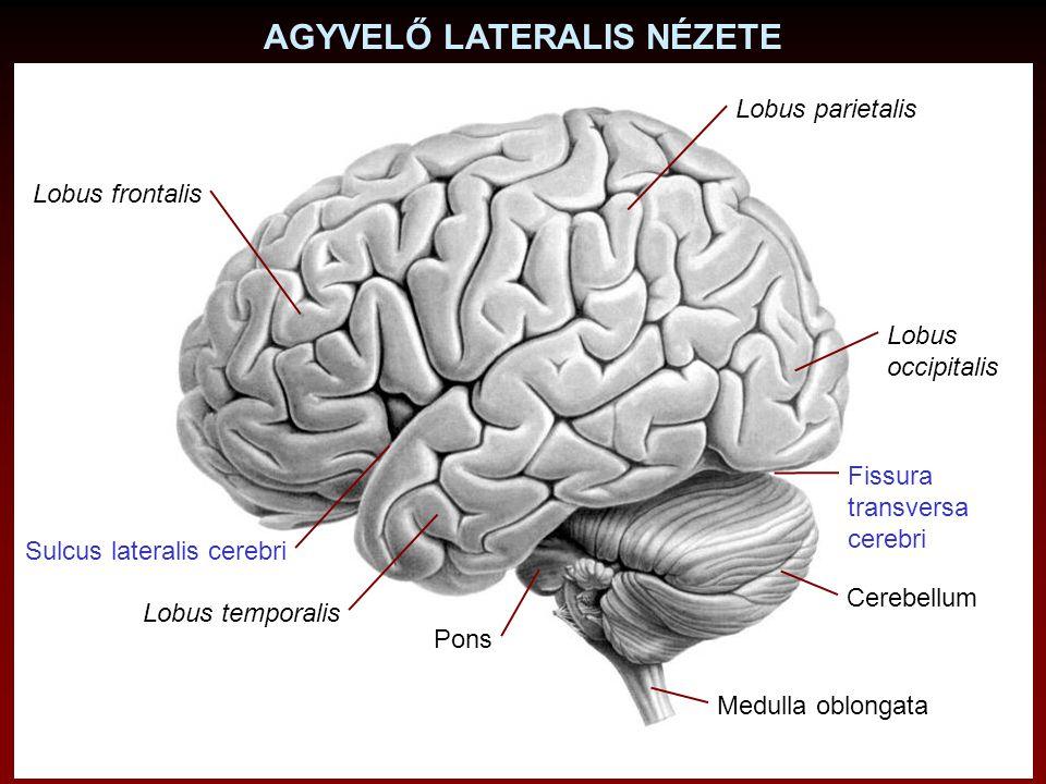 AGYVELŐ LATERALIS NÉZETE Lobus frontalis Sulcus lateralis cerebri Cerebellum Medulla oblongata Pons Lobus temporalis Lobus occipitalis Fissura transve