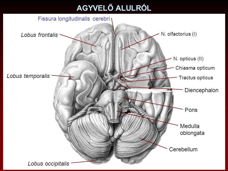 AGYVELŐ ALULRÓL N. olfactorius (I) Pons Medulla oblongata Cerebellum Diencephalon N. opticus (II) Chiasma opticum Tractus opticus Fissura longitudinal