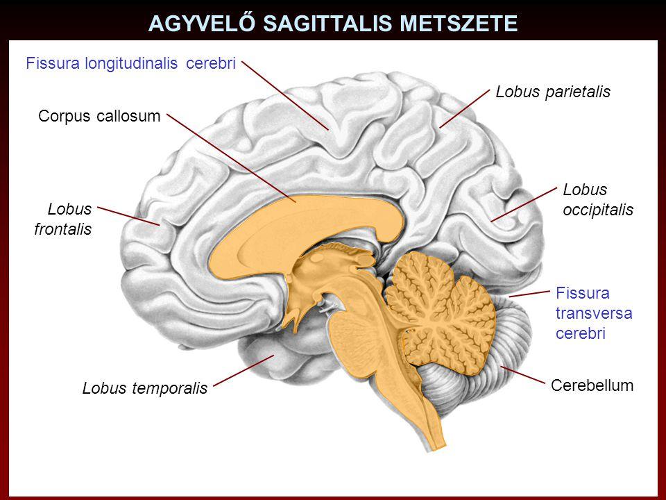 AGYVELŐ SAGITTALIS METSZETE Corpus callosum Fissura longitudinalis cerebri Fissura transversa cerebri Cerebellum Lobus occipitalis Lobus temporalis Lo