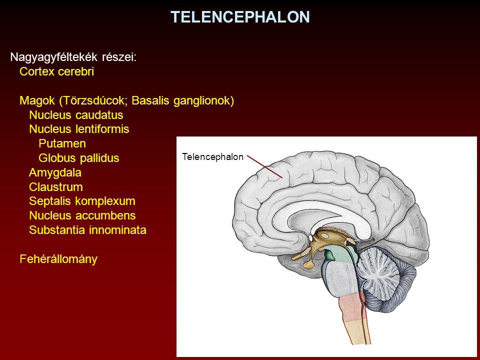 TELENCEPHALON Nagyagyféltekék részei: Cortex cerebri Magok (Törzsdúcok; Basalis ganglionok) Nucleus caudatus Nucleus lentiformis Putamen Globus pallid