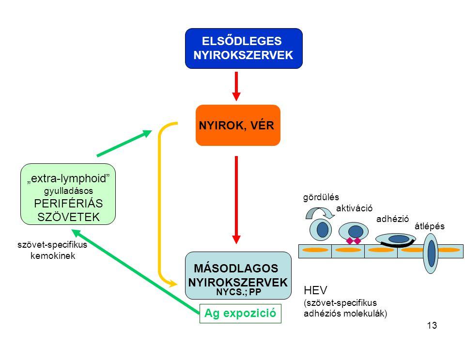 """13 NYIROK, VÉR MÁSODLAGOS NYIROKSZERVEK ELSŐDLEGES NYIROKSZERVEK HEV (szövet-specifikus adhéziós molekulák) gördülés aktiváció adhézió átlépés """"extra-"""