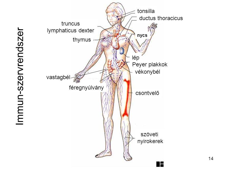 14 Immun-szervrendszer szöveti nyirokerek csontvelő vékonybél Peyer plakkok lép vastagbél féregnyúlvány thymus ductus thoracicus tonsilla nycs truncus