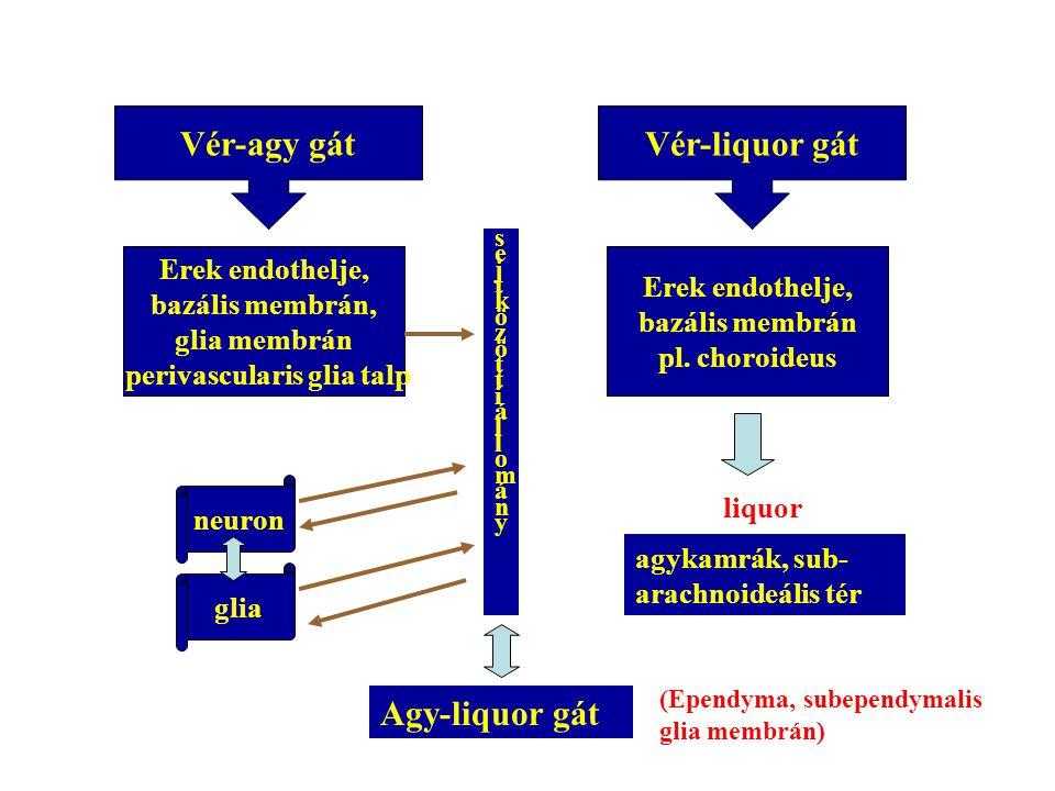 Vér-agy gát Erek endothelje, bazális membrán, glia membrán perivascularis glia talp Vér-liquor gát sejtközöttiállomány sejtközöttiállomány neuron glia