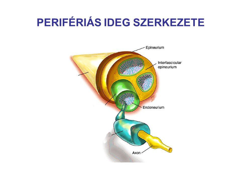 PERIFÉRIÁS IDEG SZERKEZETE