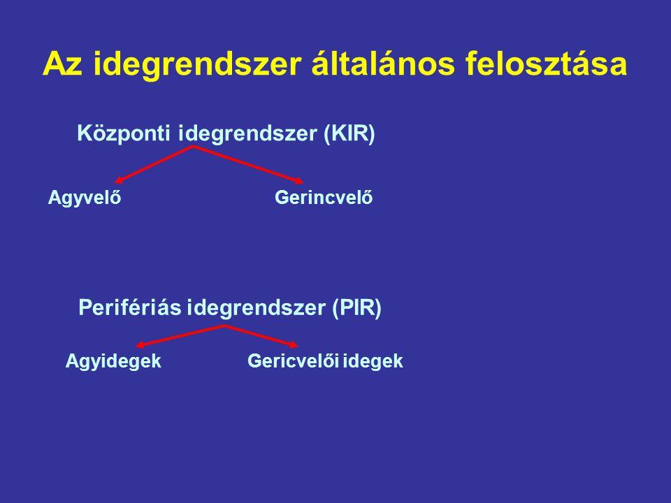 Az idegrendszer általános felosztása Központi idegrendszer (KIR) Agyvelő Gerincvelő Perifériás idegrendszer (PIR) Agyidegek Gericvelői idegek