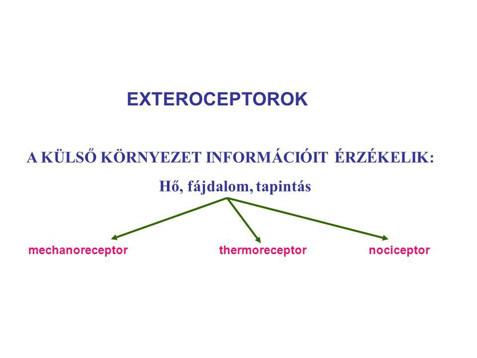 EXTEROCEPTOROK A KÜLSŐ KÖRNYEZET INFORMÁCIÓIT ÉRZÉKELIK: Hő, fájdalom, tapintás mechanoreceptorthermoreceptor nociceptor