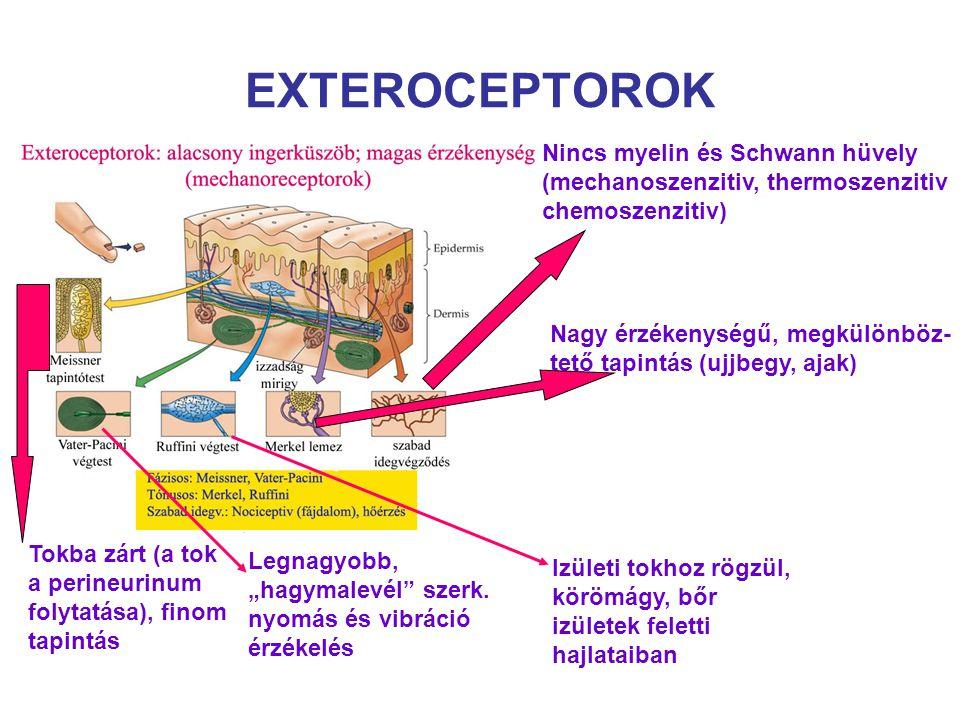 EXTEROCEPTOROK Nincs myelin és Schwann hüvely (mechanoszenzitiv, thermoszenzitiv chemoszenzitiv) Nagy érzékenységű, megkülönböz- tető tapintás (ujjbeg