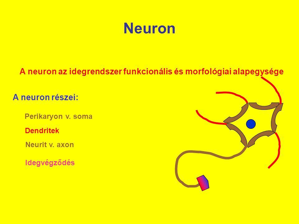 Neuron A neuron az idegrendszer funkcionális és morfológiai alapegysége A neuron részei: Perikaryon v. soma Dendritek Neurit v. axon Idegvégződés