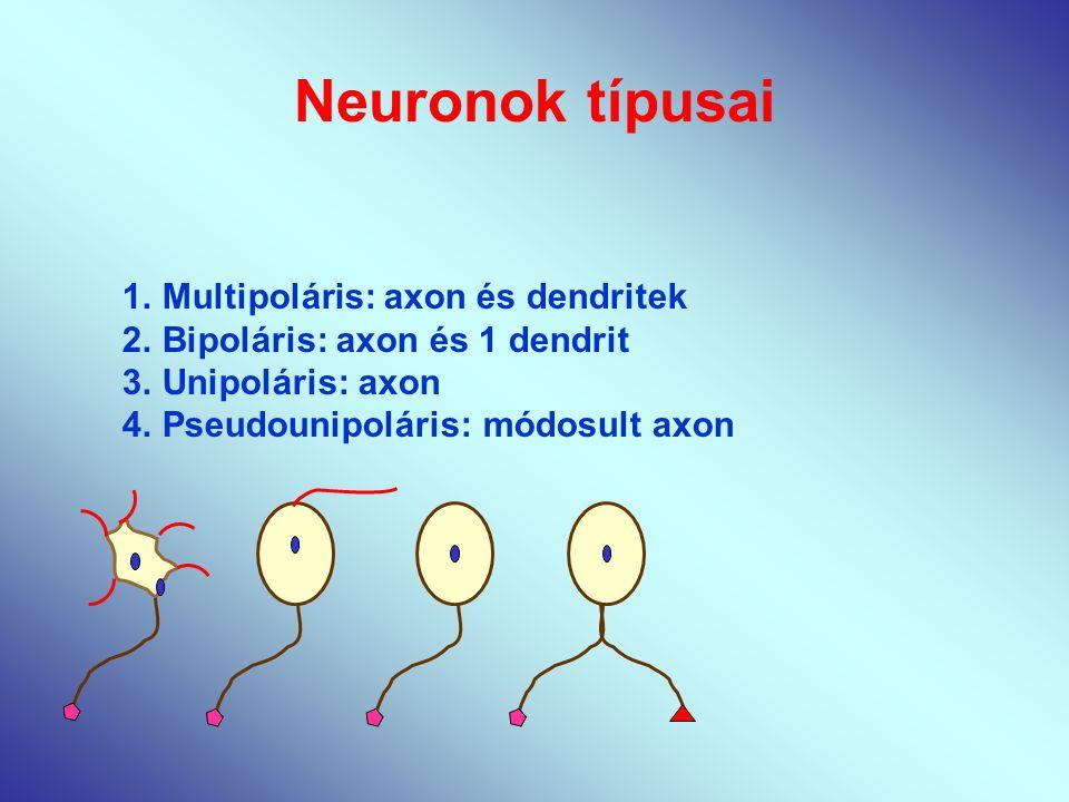 Neuronok típusai 1.Multipoláris: axon és dendritek 2.Bipoláris: axon és 1 dendrit 3.Unipoláris: axon 4.Pseudounipoláris: módosult axon