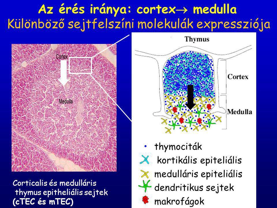 Az érés iránya: cortex  medulla thymociták kortikális epiteliális ejtek medulláris epiteliális sejtek dendritikus sejtek makrofágok Különböző sejtfelszíni molekulák expressziója Corticalis és medulláris thymus epitheliális sejtek (cTEC és mTEC)
