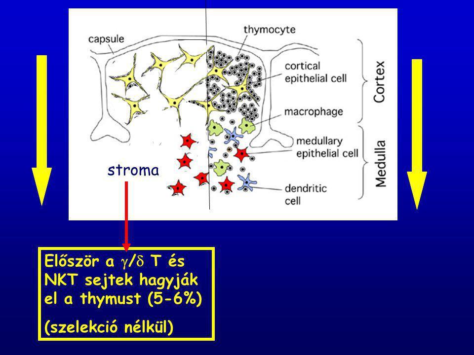 stroma Először a  /  T és NKT sejtek hagyják el a thymust (5-6%) (szelekció nélkül)