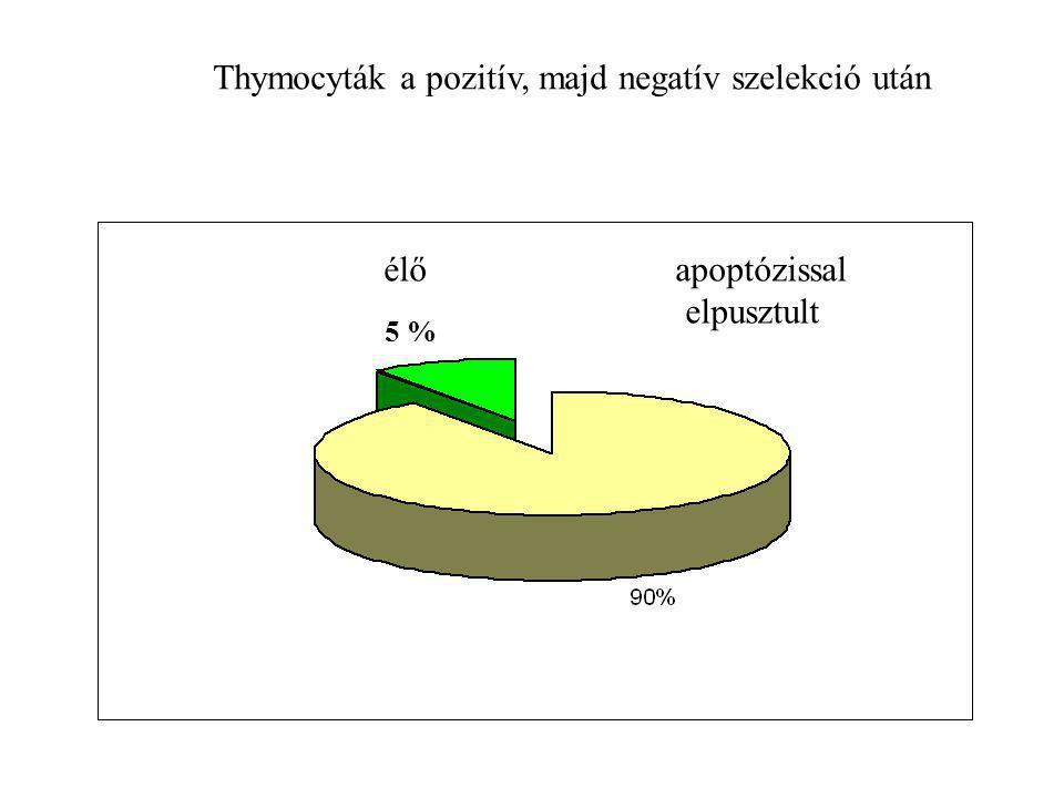 Thymocyták a pozitív, majd negatív szelekció után élő apoptózissal elpusztult 5 %