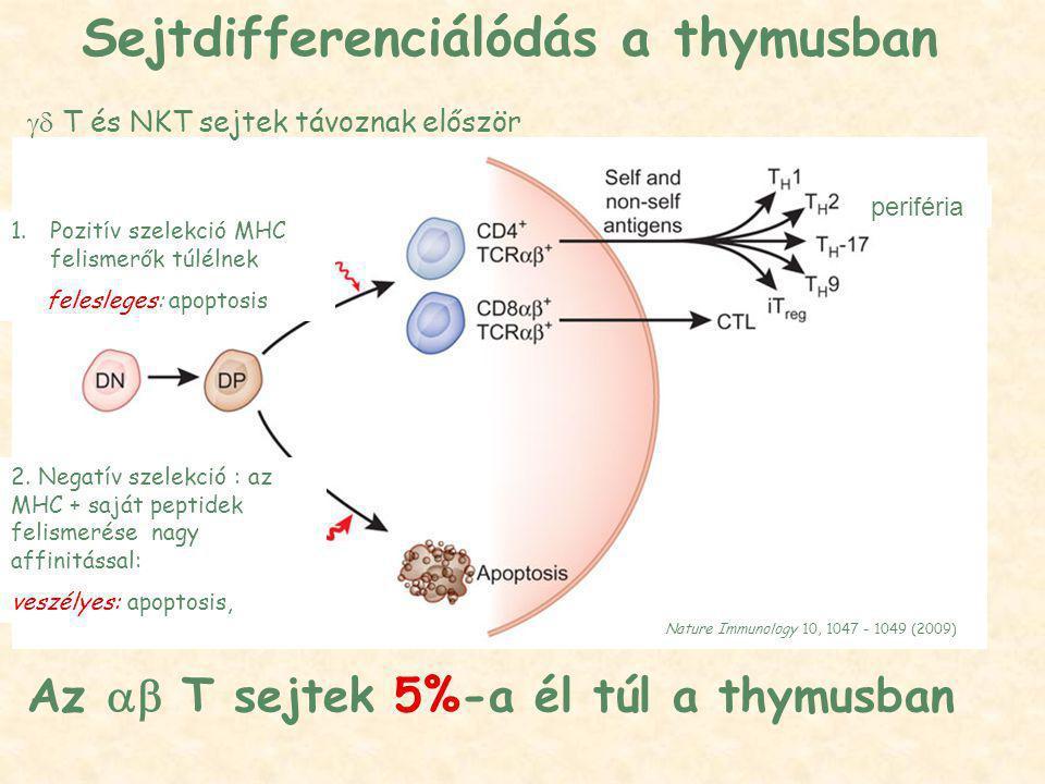 Nature Immunology 10, 1047 - 1049 (2009) Az  T sejtek 5%-a él túl a thymusban 1.Pozitív szelekció MHC felismerők túlélnek felesleges: apoptosis 2.
