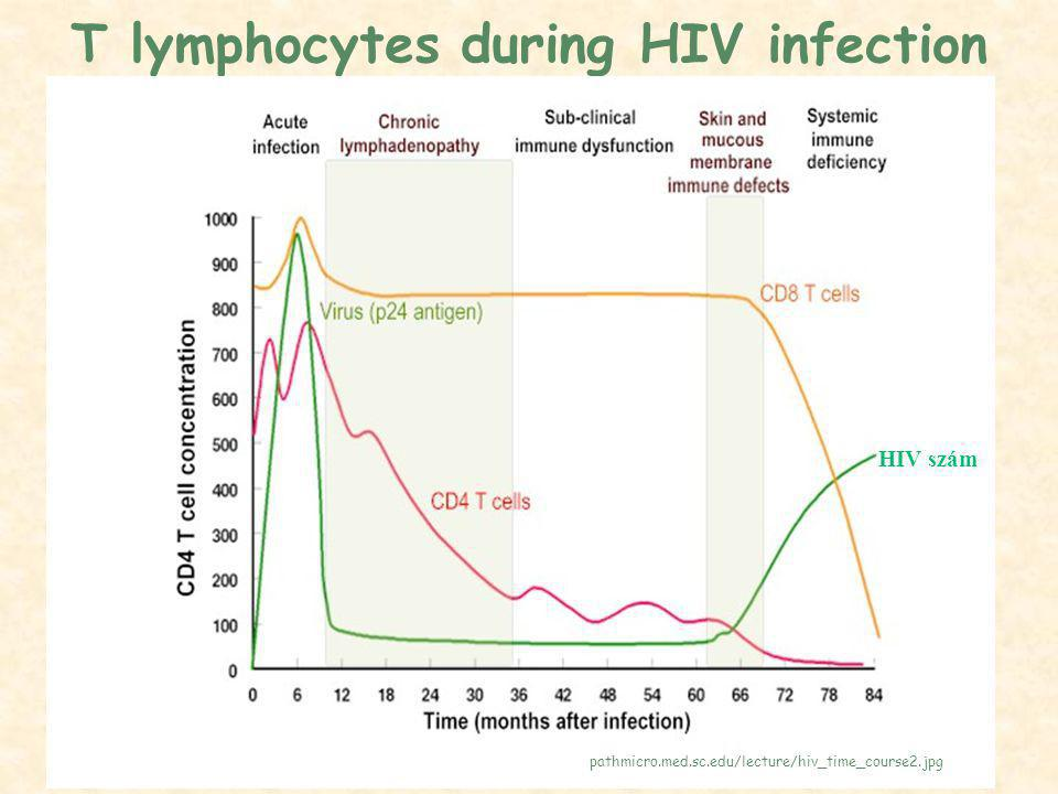 T lymphocytes during HIV infection pathmicro.med.sc.edu/lecture/hiv_time_course2.jpg HIV szám