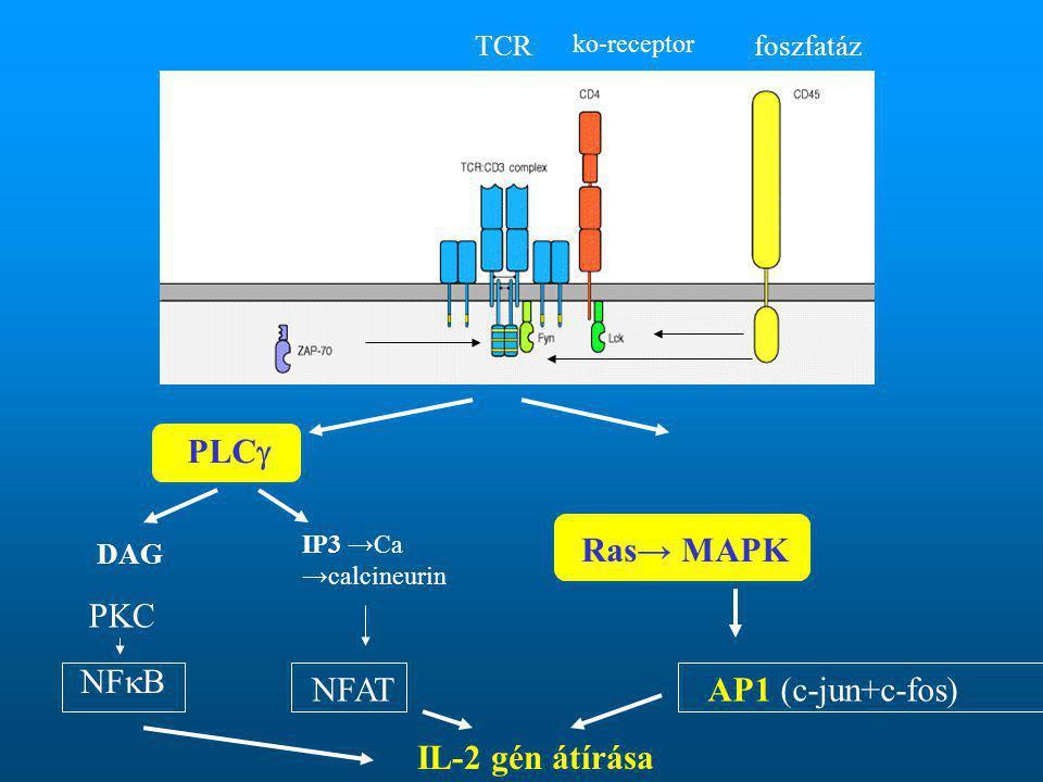 foszfatáz ko-receptor TCR PLC  DAG IP3 →Ca →calcineurin Ras→ MAPK PKC NF  B NFATAP1 (c-jun+c-fos) IL-2 gén átírása
