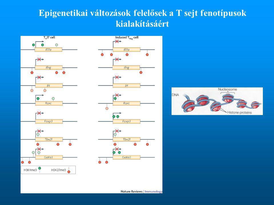 Epigenetikai változások felelősek a T sejt fenotípusok kialakításáért