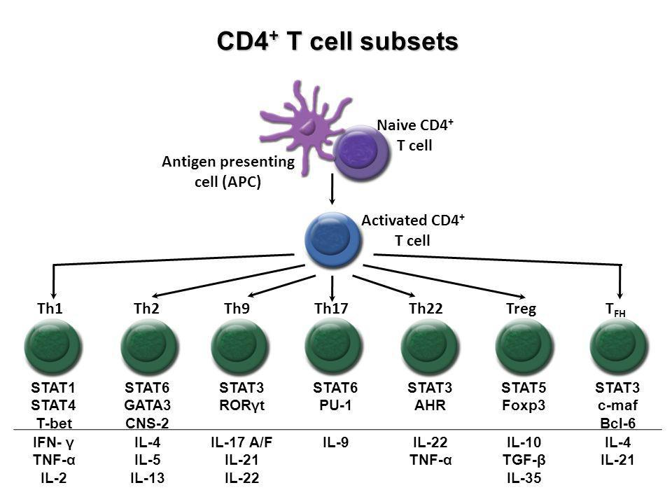 CD4 + T cell subsets Antigen presenting cell (APC) Naive CD4 + T cell Activated CD4 + T cell Th1Th2Th9Th17Th22TregT FH STAT1 STAT4 T-bet STAT6 GATA3 CNS-2 STAT3 RORγt STAT6 PU-1 STAT3 AHR STAT5 Foxp3 STAT3 c-maf Bcl-6 IFN- γ TNF-α IL-2 IL-4 IL-5 IL-13 IL-17 A/F IL-21 IL-22 IL-9IL-22 TNF-α IL-10 TGF-β IL-35 IL-4 IL-21