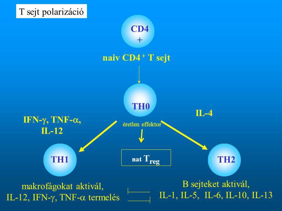 naiv CD4 + T sejt TH0 TH1 TH2 IFN- , TNF- , IL-12 IL-4 CD4 + éretlen effektor makrofágokat aktivál, IL-12, IFN- , TNF-  termelés B sejteket aktivál, IL-1, IL-5, IL-6, IL-10, IL-13 T sejt polarizáció nat T reg