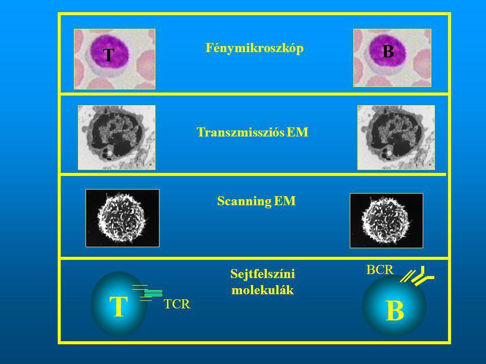 Fénymikroszkóp Transzmissziós EM Scanning EM T B Sejtfelszíni molekulák T B TCR BCR