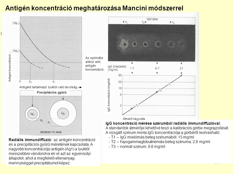 12 Radiális kettős immundiffúzió Immundiffúziós módszerek Antigének közös determinánsainak vizsgálata Az antigént tartalmazó lyuktól egyenlő távolságra elhelyezett ellenanyagok különböző koncentrációban.