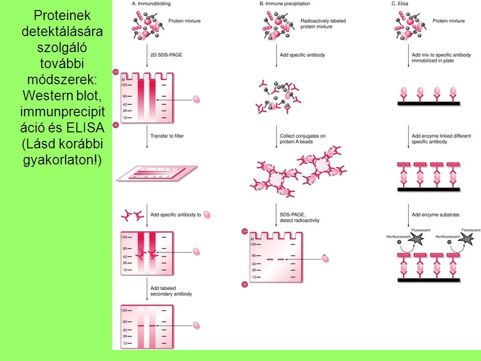 32 Proteinek detektálására szolgáló további módszerek: Western blot, immunprecipit áció és ELISA (Lásd korábbi gyakorlaton!)