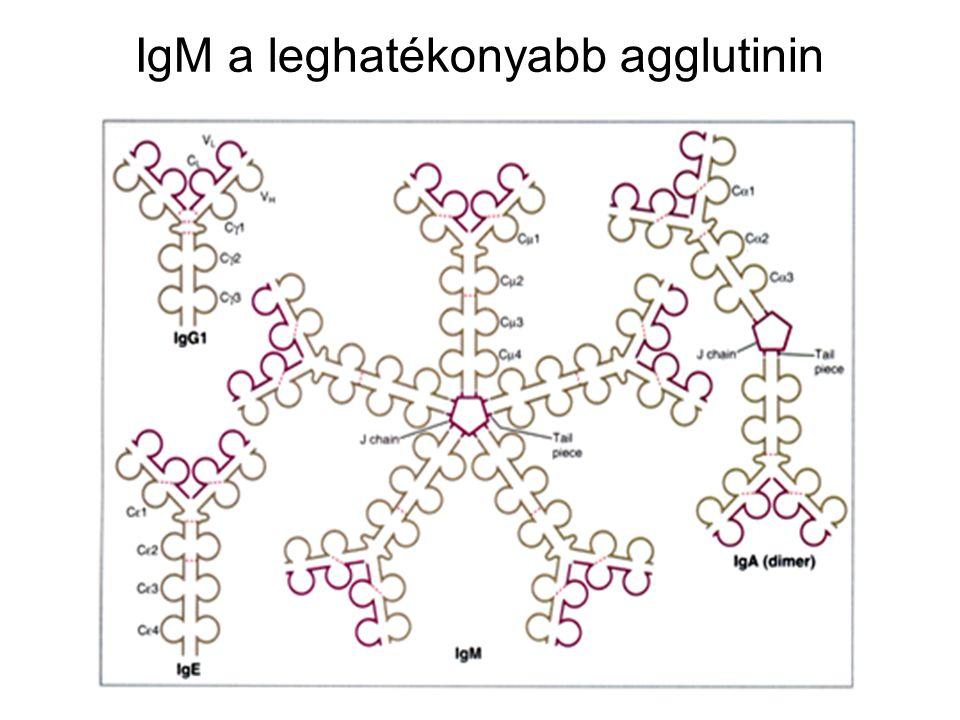 42 Direkt agglutináció pl. AB0 vércsoport meghatározás ellenanyag (antitest) vörös- vértest