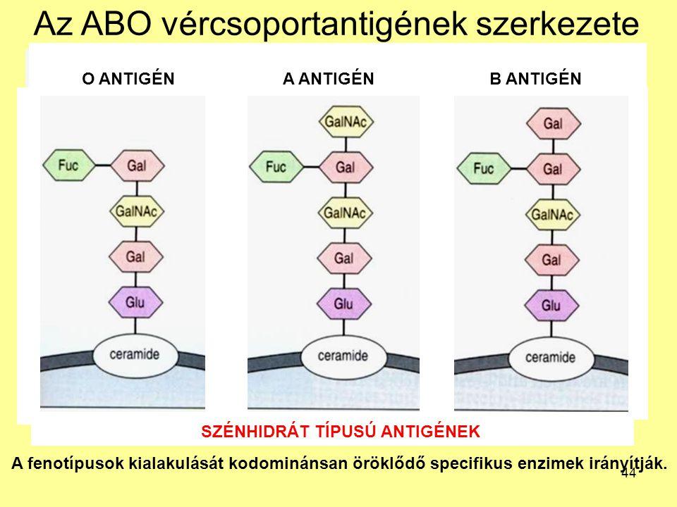 44 Az ABO vércsoportantigének szerkezete A fenotípusok kialakulását kodominánsan öröklődő specifikus enzimek irányítják. O ANTIGÉNA ANTIGÉNB ANTIGÉN S