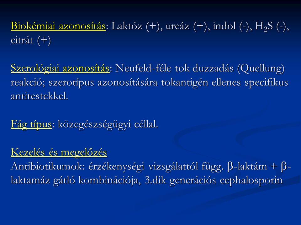 Biokémiai azonosítás: Laktóz (+), ureáz (+), indol (-), H 2 S (-), citrát (+) Szerológiai azonosítás: Neufeld-féle tok duzzadás (Quellung) reakció; sz