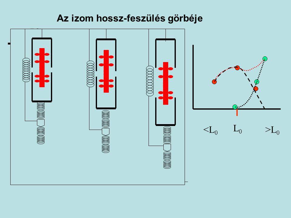 A maximális izometriás erő nagyságát befolyásoló tényezők Izomhossz (erő- hossz összefüggés) Izületi szög (nyomaték – izületi szög összefüggés) Az izom élettani keresztmetszete (hipertrófia) Izomfelépítés, architektúra (tollazottsági szög) Testhelyzet Ttanár 2005.