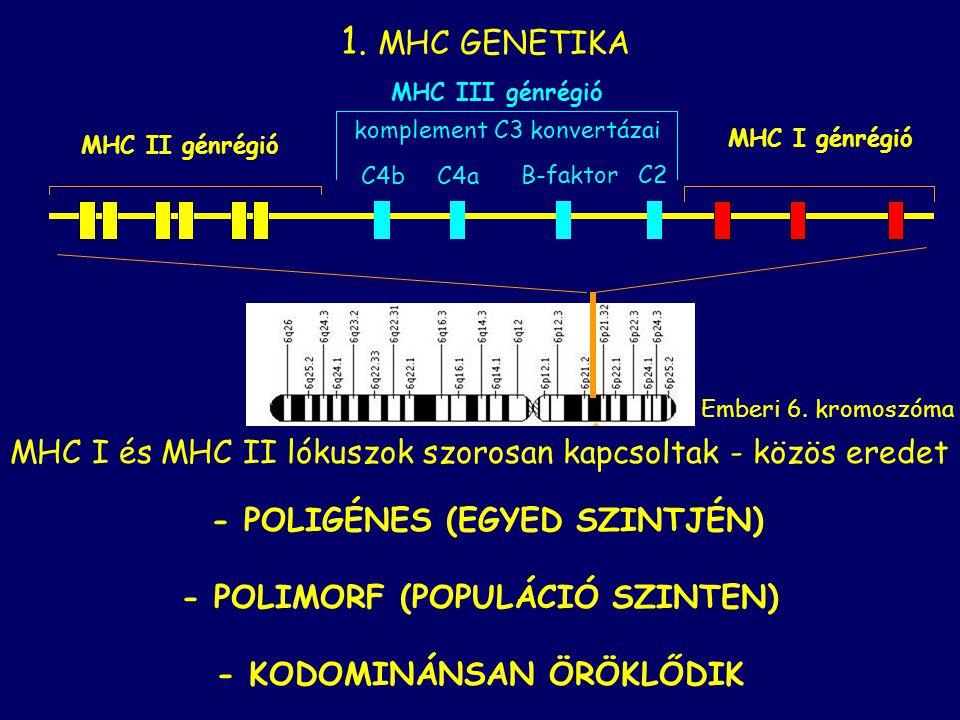1. MHC GENETIKA MHC I és MHC II lókuszok szorosan kapcsoltak - közös eredet - POLIGÉNES (EGYED SZINTJÉN) - POLIMORF (POPULÁCIÓ SZINTEN) - KODOMINÁNSAN