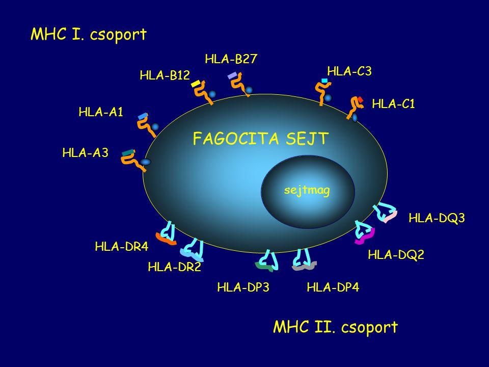 HLA-A3 HLA-A1 HLA-B27 HLA-B12 HLA-C3 HLA-C1 FAGOCITA SEJT MHC I. csoport HLA-DR2 HLA-DR4 HLA-DP3HLA-DP4 HLA-DQ2 HLA-DQ3 MHC II. csoport sejtmag
