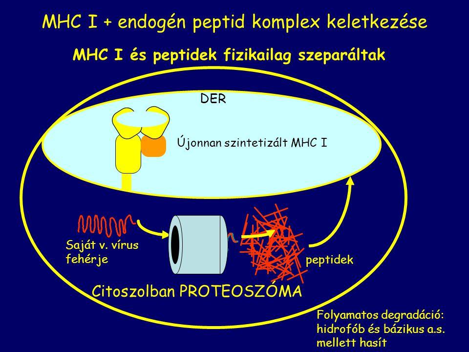 DER Citoszolban PROTEOSZÓMA MHC I és peptidek fizikailag szeparáltak Újonnan szintetizált MHC I Saját v. vírus fehérje peptidek MHC I + endogén peptid