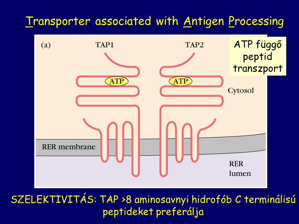 Transporter associated with Antigen Processing SZELEKTIVITÁS: TAP >8 aminosavnyi hidrofób C terminálisú peptideket preferálja ATP függő peptid transzp