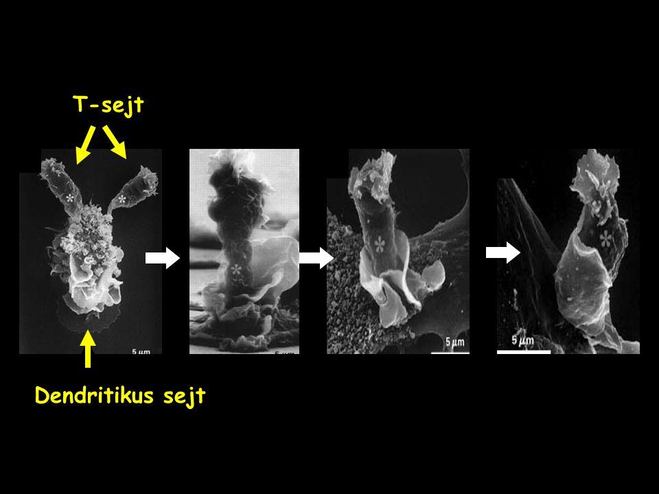 Kereszt prezentáció Exogén antigéneket a dendritikus sejtek endogén úton is bemutathatják