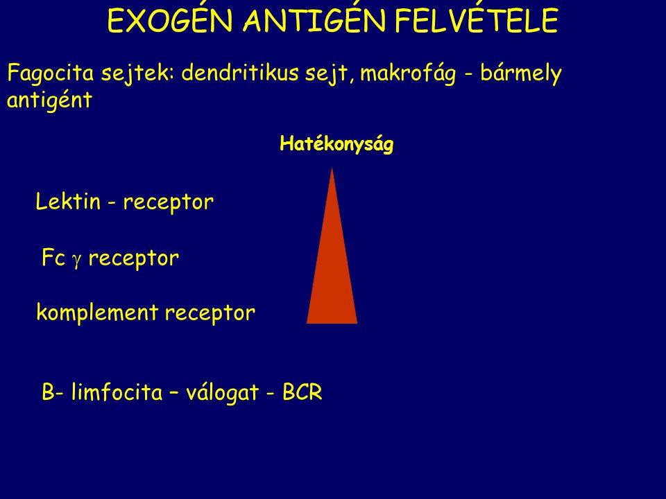 EXOGÉN ANTIGÉN FELVÉTELE Fagocita sejtek: dendritikus sejt, makrofág - bármely antigént Lektin - receptor Fc  receptor komplement receptor Hatékonysá