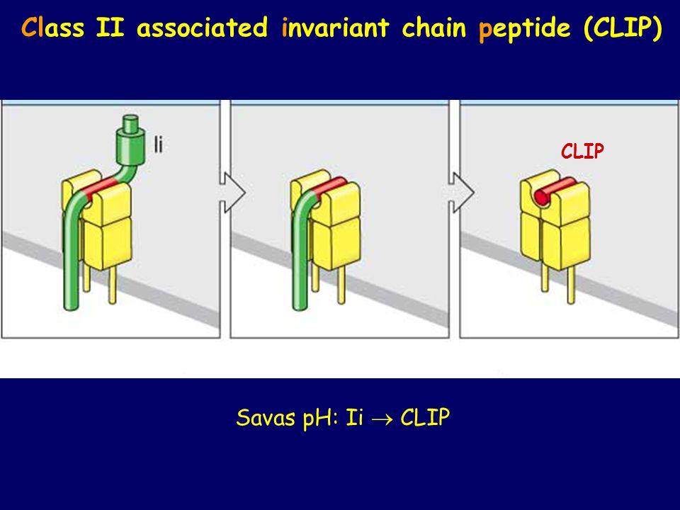CLIP Class II associated invariant chain peptide (CLIP) Savas pH: Ii  CLIP