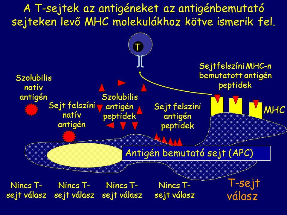 Sejt felszíni antigén peptidek A T-sejtek az antigéneket az antigénbemutató sejteken levő MHC molekulákhoz kötve ismerik fel. T T-sejt válasz Nincs T-