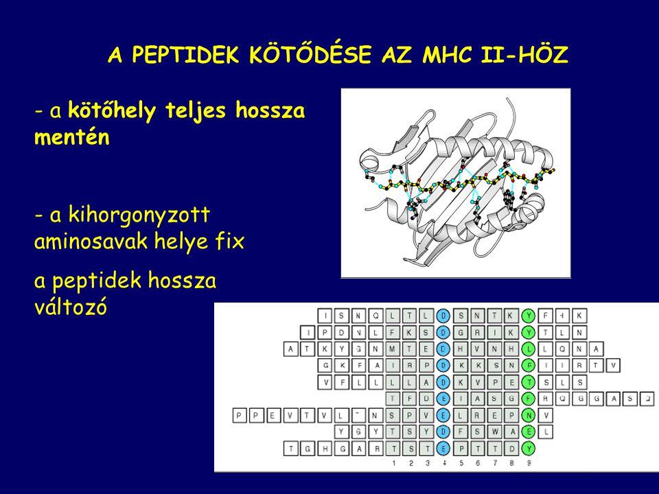 A PEPTIDEK KÖTŐDÉSE AZ MHC II-HÖZ - a kötőhely teljes hossza mentén - a kihorgonyzott aminosavak helye fix a peptidek hossza változó