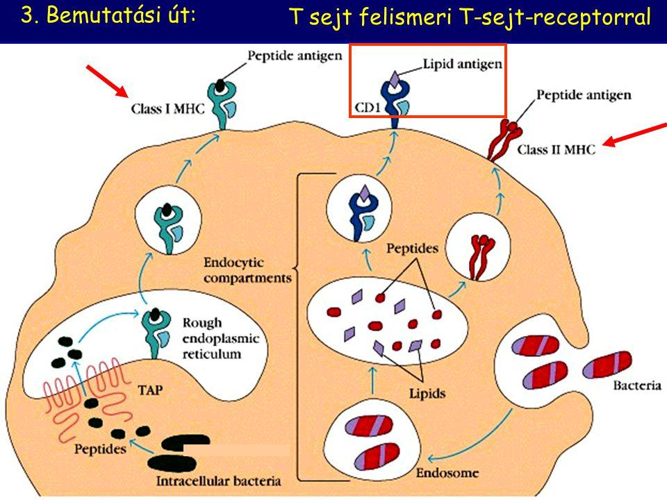 T sejt felismeri T-sejt-receptorral 3. Bemutatási út: