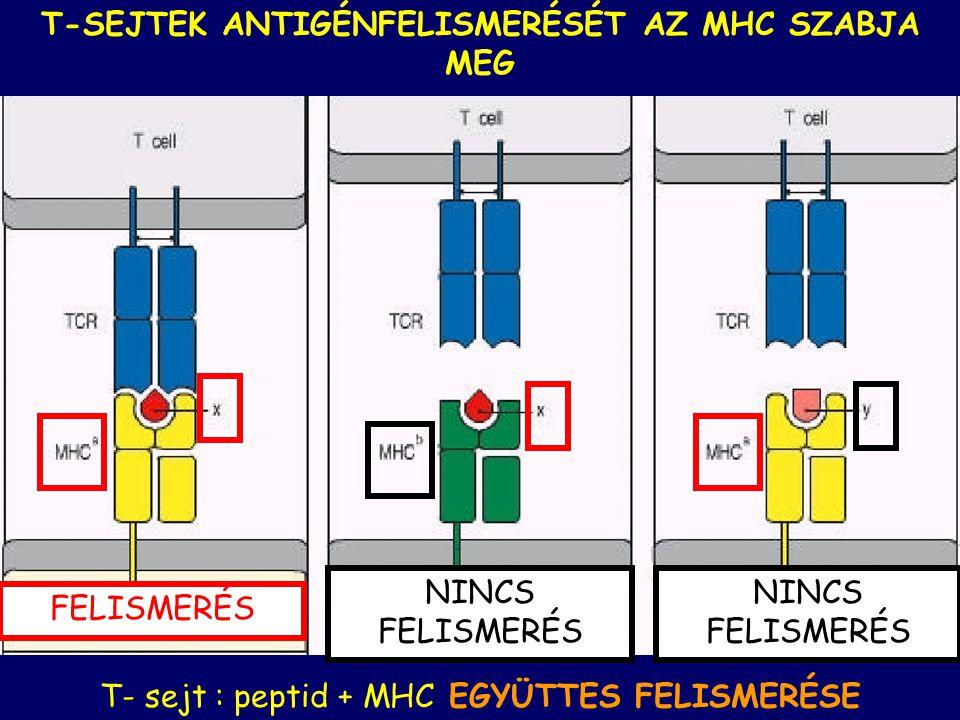 MHC-II: professzionális antigén-bemutató sejtek (dendritikus sejtek, makrofágok és B limfociták) HLA-DP, -DQ, -DR HLA = HUMAN LEUKOCYTE ANTIGENS MHC-I : minden magvas testi sejt felszínén HLA-A, -B, -C MHC génekMHC fehérjét kódolnak Emberi MHC fehérje = HLA