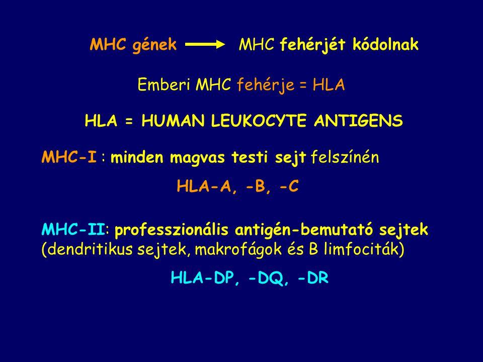 MHC-II: professzionális antigén-bemutató sejtek (dendritikus sejtek, makrofágok és B limfociták) HLA-DP, -DQ, -DR HLA = HUMAN LEUKOCYTE ANTIGENS MHC-I