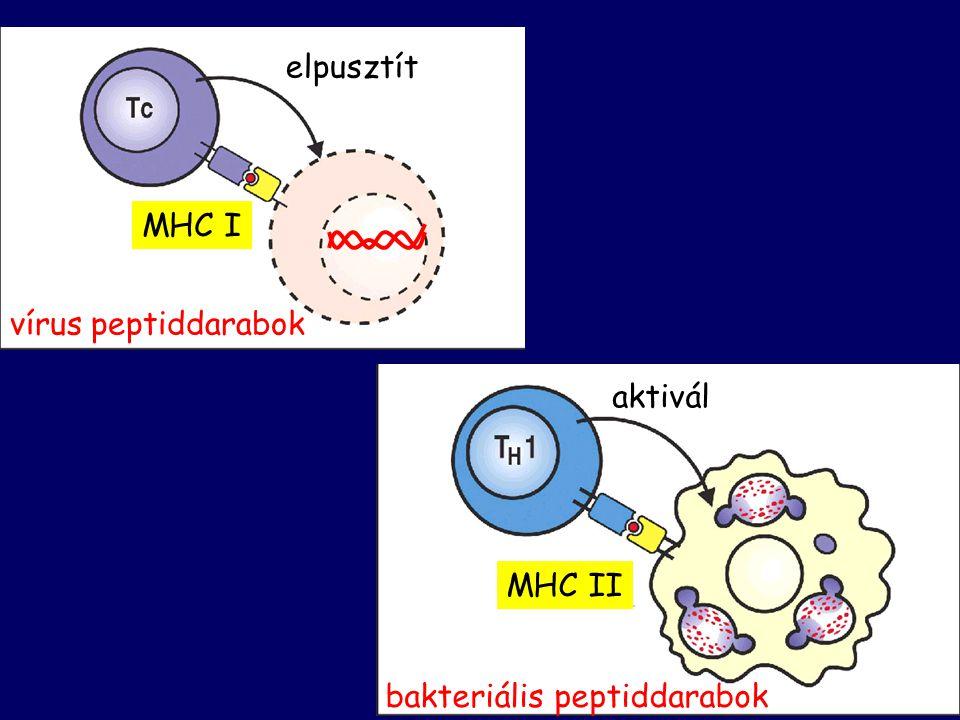 vírus peptiddarabok MHC I elpusztít bakteriális peptiddarabok MHC II aktivál