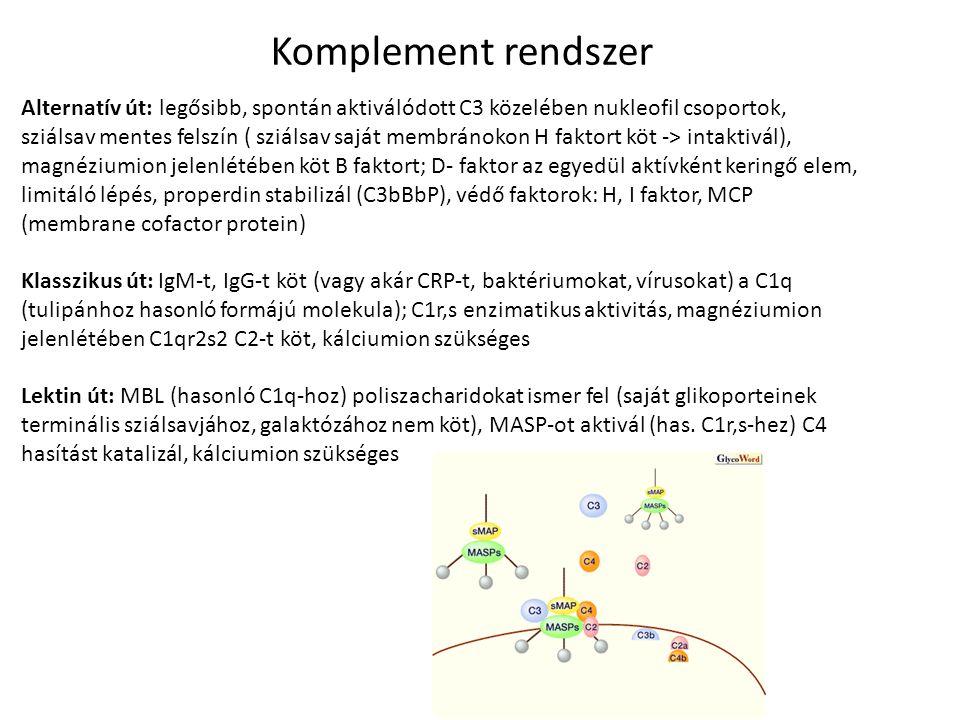 Komplement rendszer Alternatív út: legősibb, spontán aktiválódott C3 közelében nukleofil csoportok, sziálsav mentes felszín ( sziálsav saját membránok