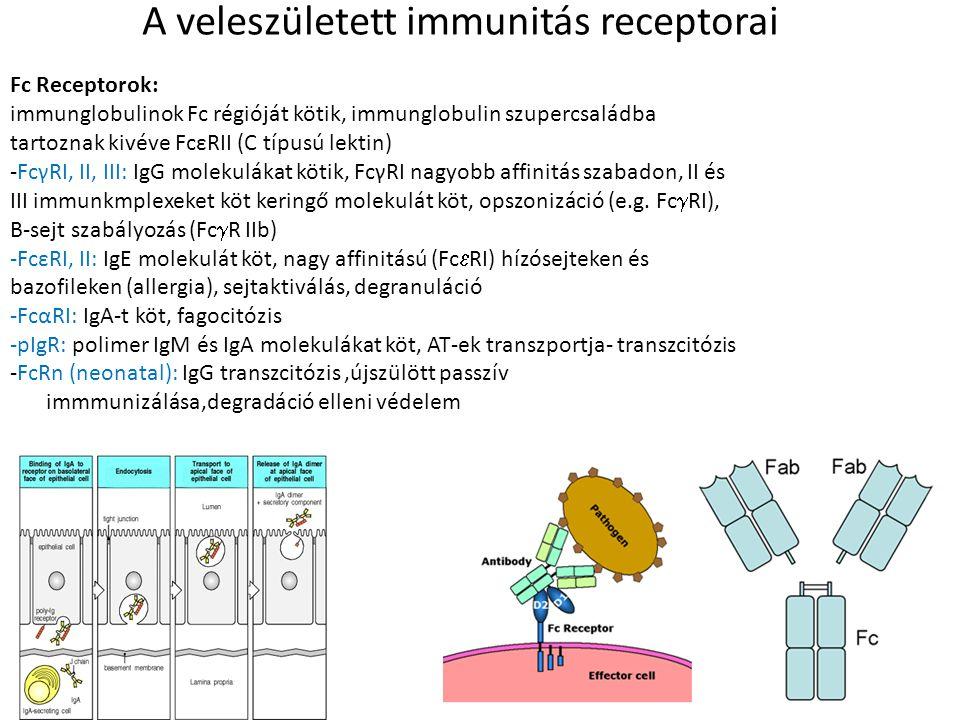 A veleszületett immunitás receptorai Fc Receptorok: immunglobulinok Fc régióját kötik, immunglobulin szupercsaládba tartoznak kivéve FcεRII (C típusú